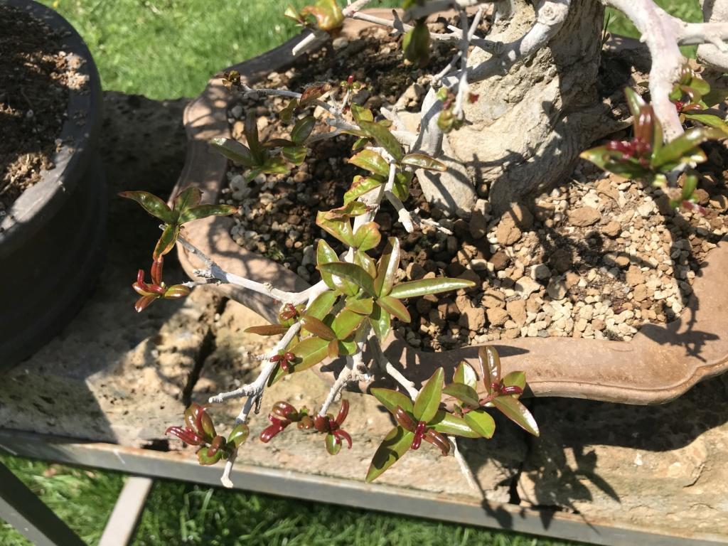 foglie che si atrofizzano sul melograno giapponese Img_2414