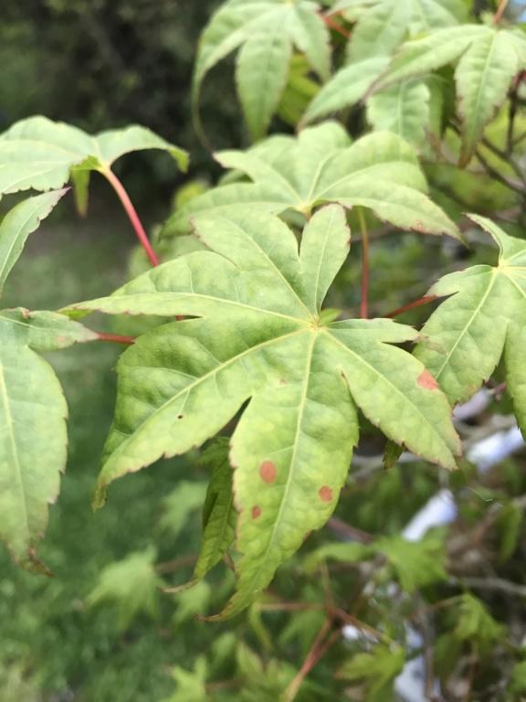 foglie di acero palmato con foglie con bordi cadenti Img_2513