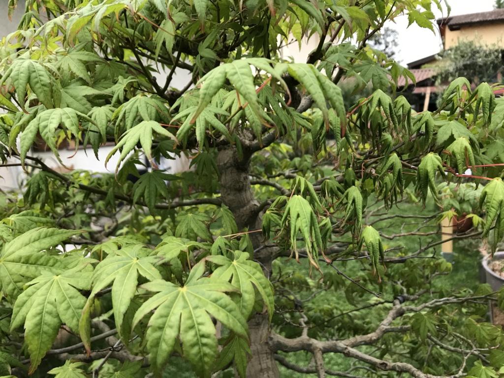 foglie di acero palmato con foglie con bordi cadenti Img_2515