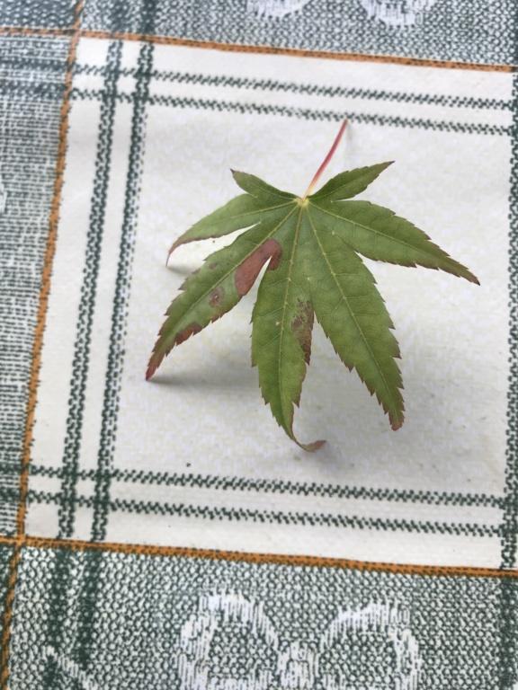 foglie di acero palmato con foglie con bordi cadenti Img_2516