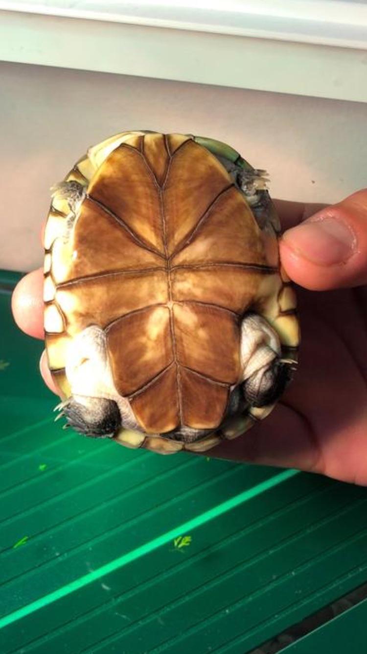 Présentation pelomedusa Mac Turtle. 05ec2410