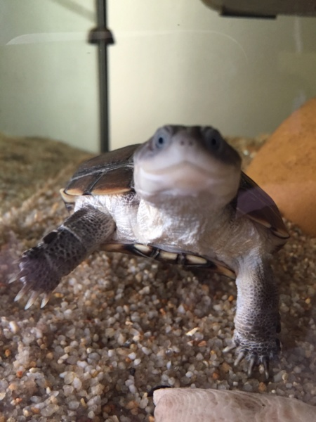 Présentation pelomedusa Mac Turtle. 1606c810