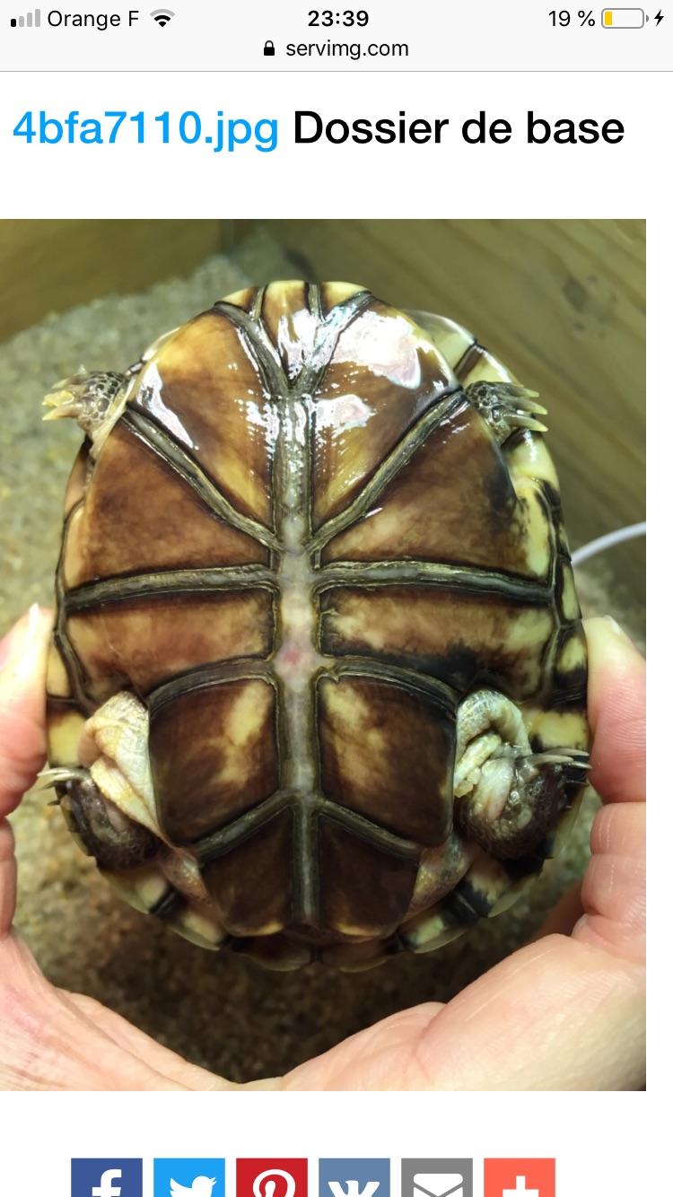 Présentation pelomedusa Mac Turtle. 2366a910