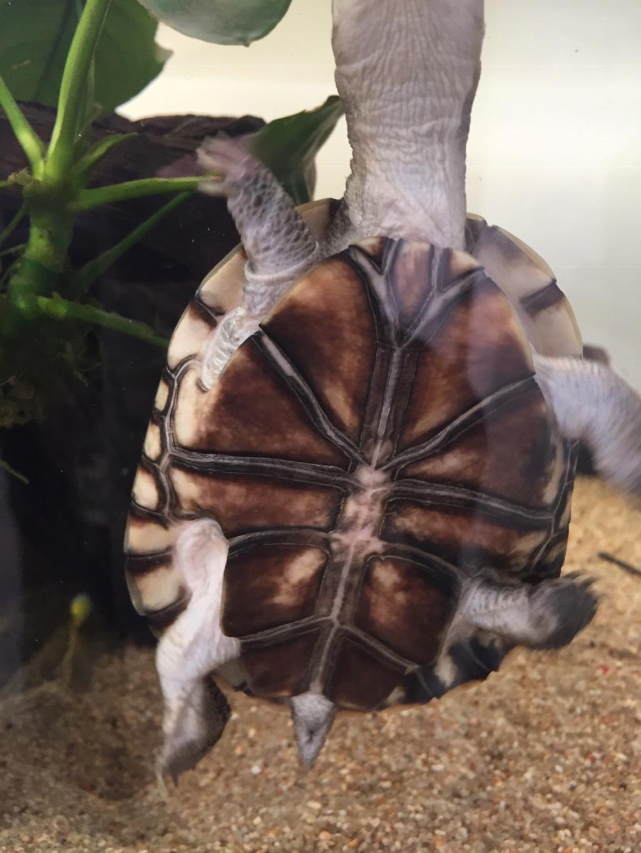 Présentation pelomedusa Mac Turtle. 56ebce10