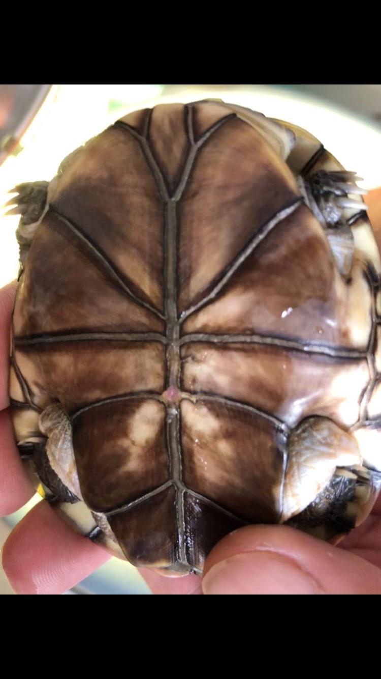 Présentation pelomedusa Mac Turtle. 89ef7c10
