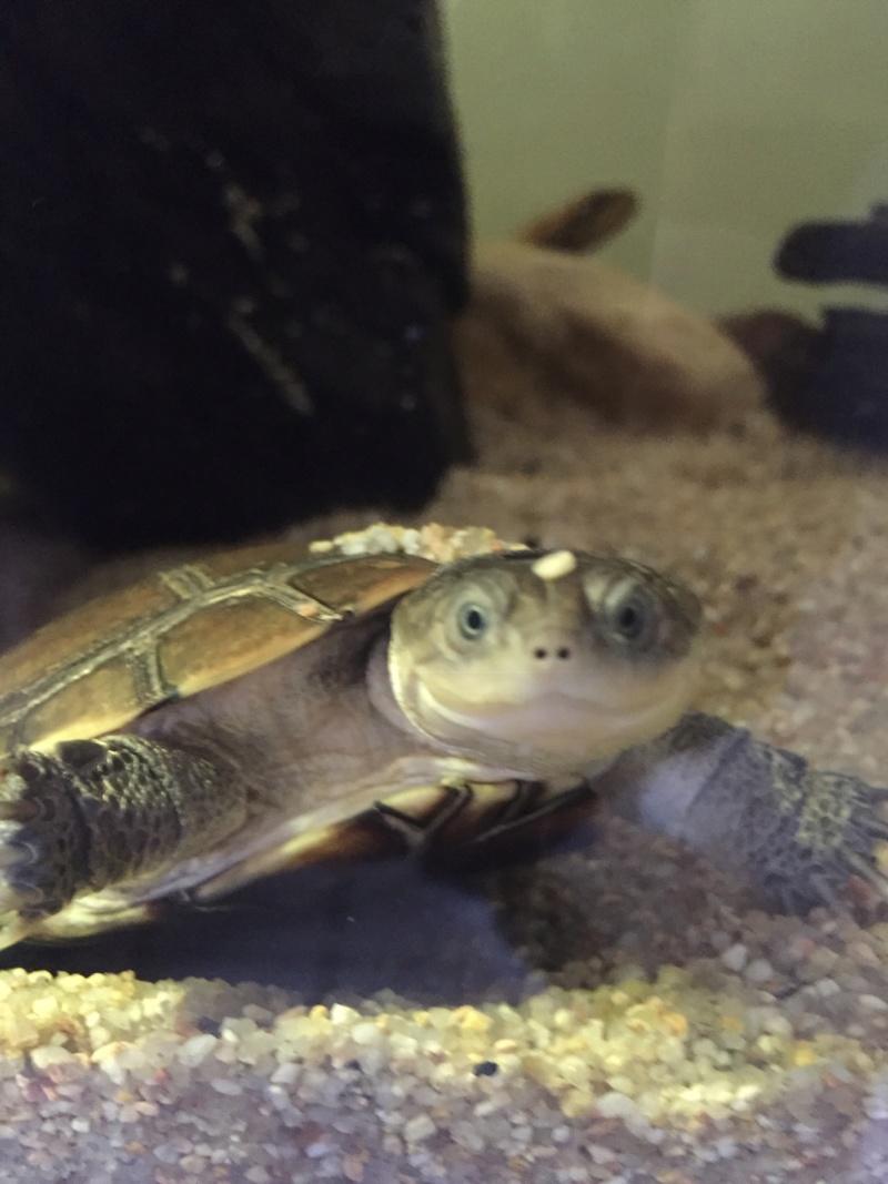 Présentation pelomedusa Mac Turtle. E731d010