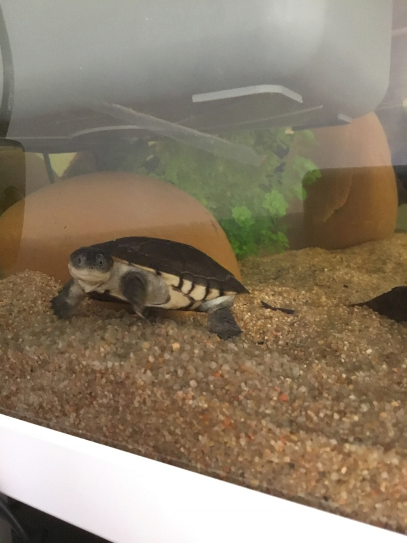 Présentation pelomedusa Mac Turtle. F6ae7e10