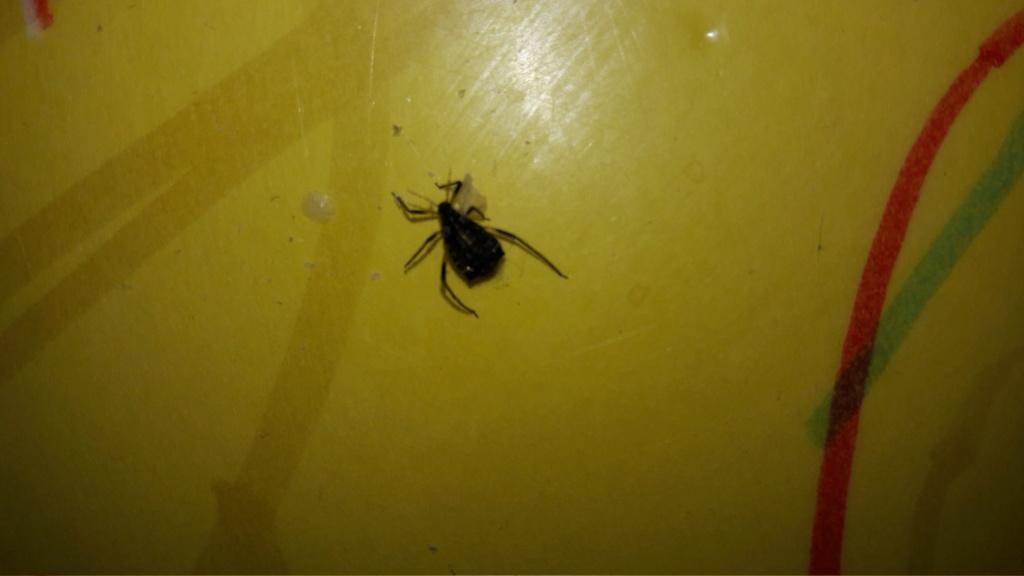 [Aphididae] Quel est cet insecte? 20181210