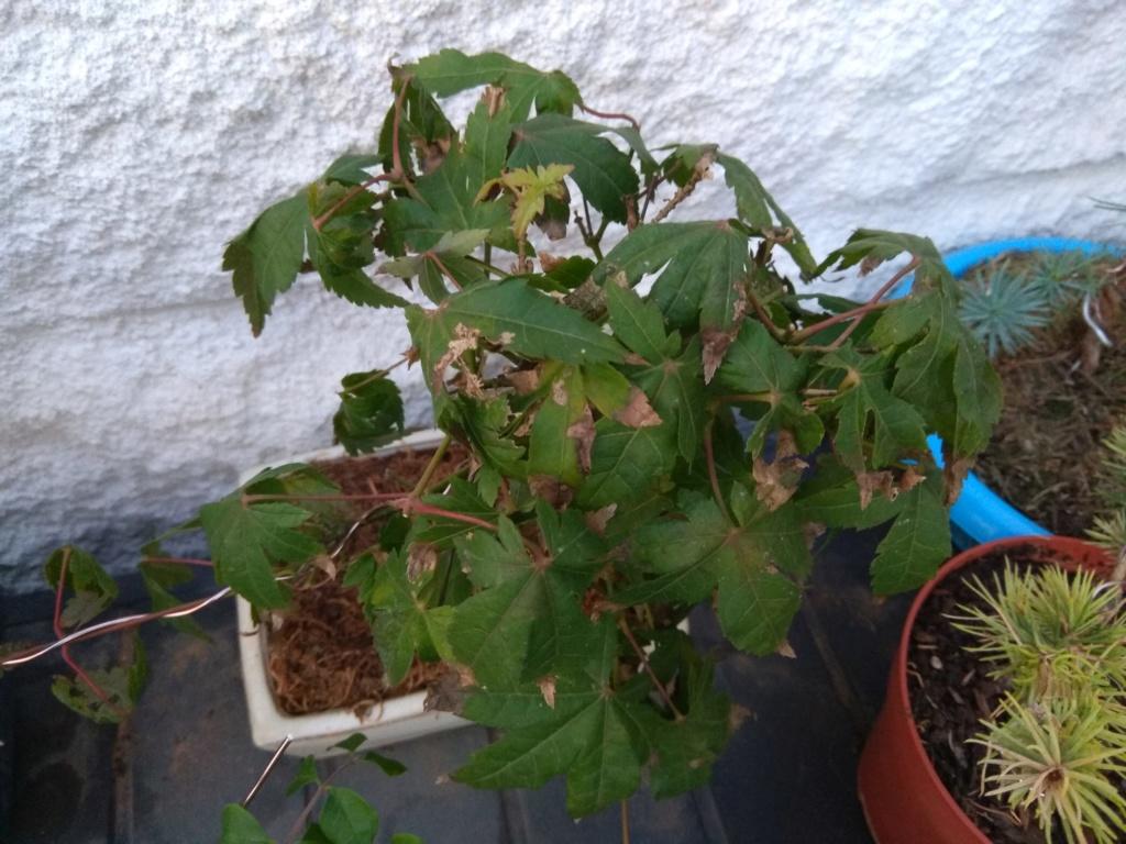 Acer palmatum tocado Img_2049
