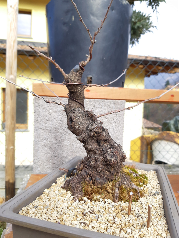 Prunus mahaleb 20190211