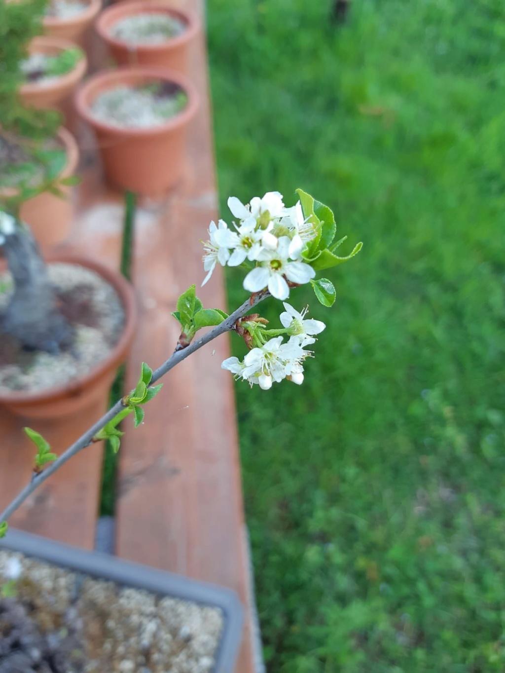 Prunus mahaleb Gxcu6510
