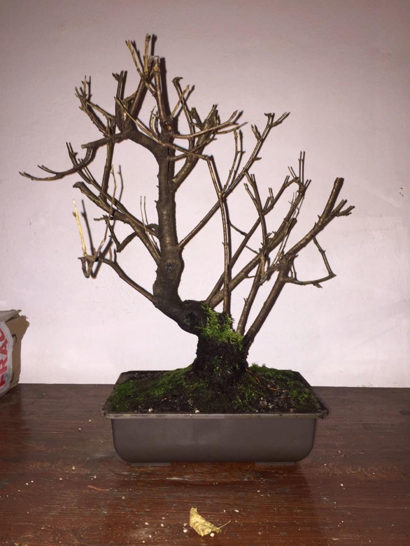 Prunus mahaleb Img-2010
