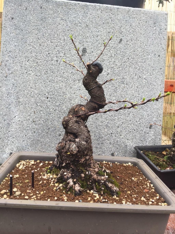 Prunus mahaleb Img-2013