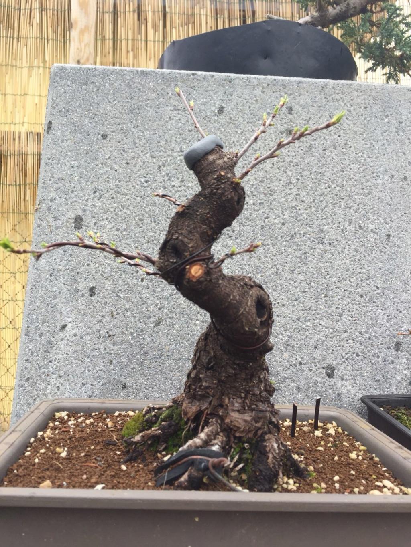 Prunus mahaleb Img-2015