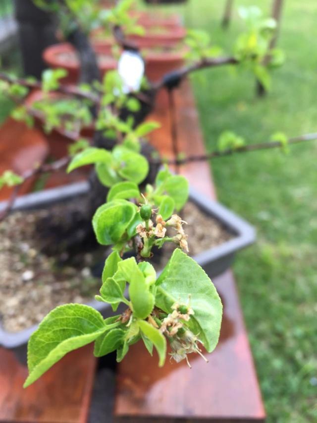 Prunus mahaleb Img-2019