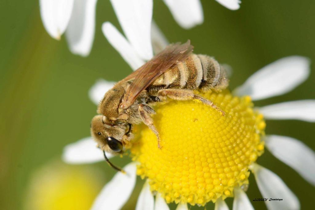 abeille solitaire Andren11