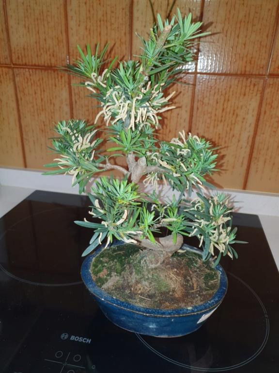 Identificar bonsai  20210510