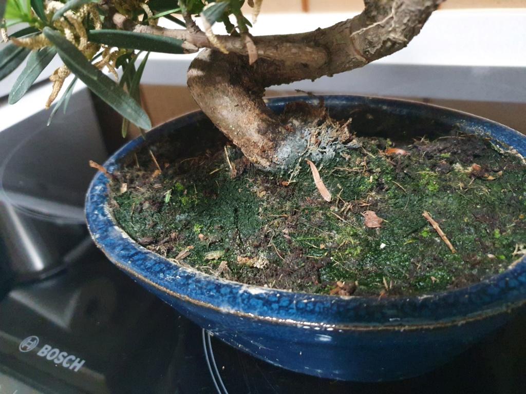 Identificar bonsai  20210511