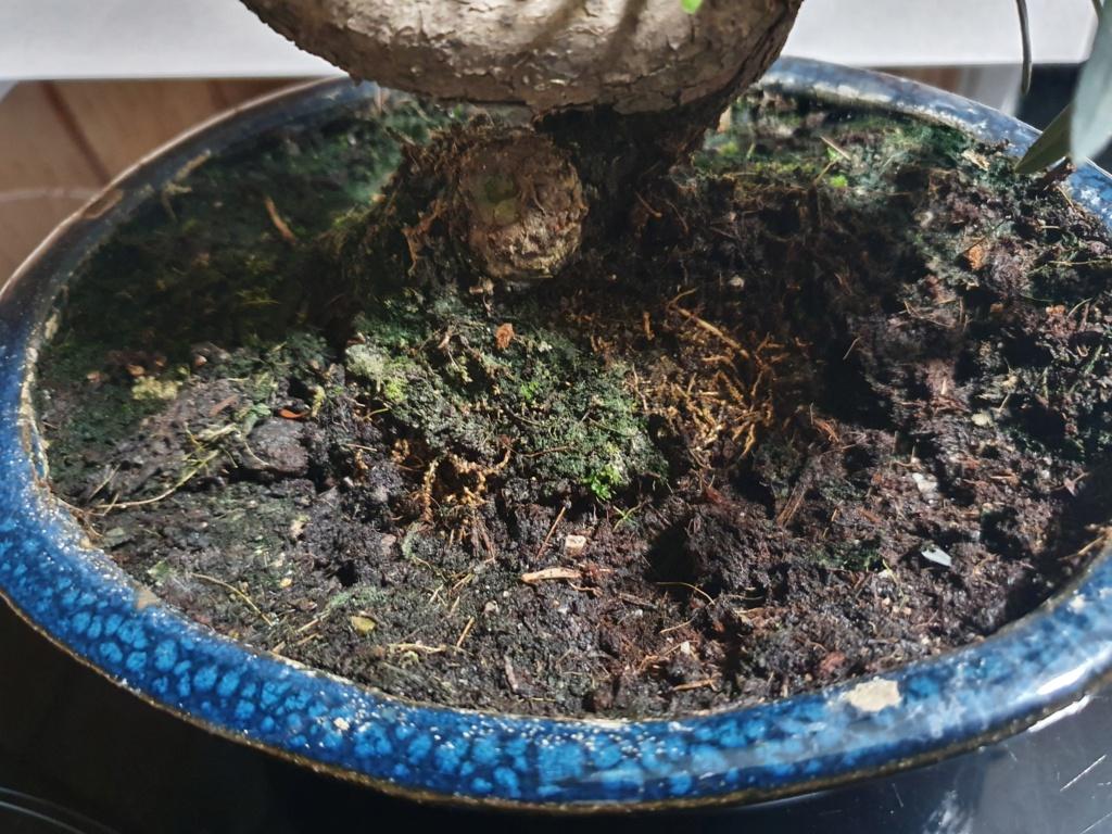 Identificar bonsai  20210512