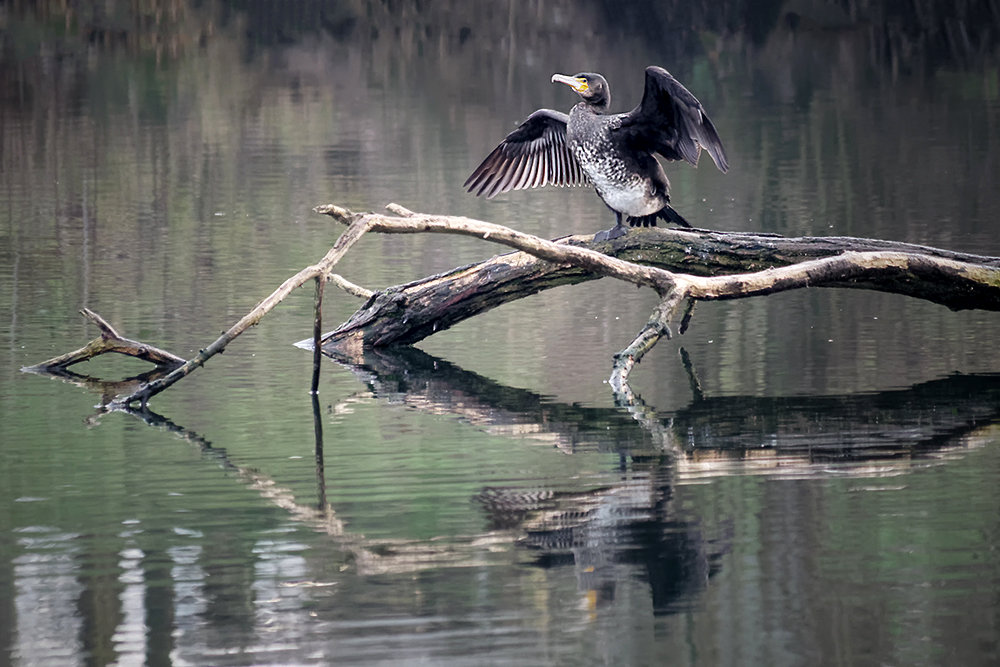 [Animaux] Bords de l'Orge, cormoran Bords_10