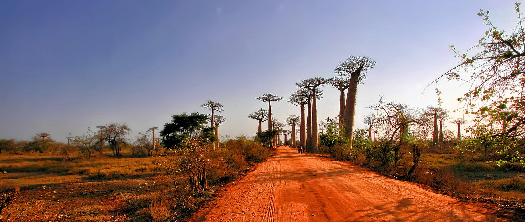 Allée des baobabs Img_0310