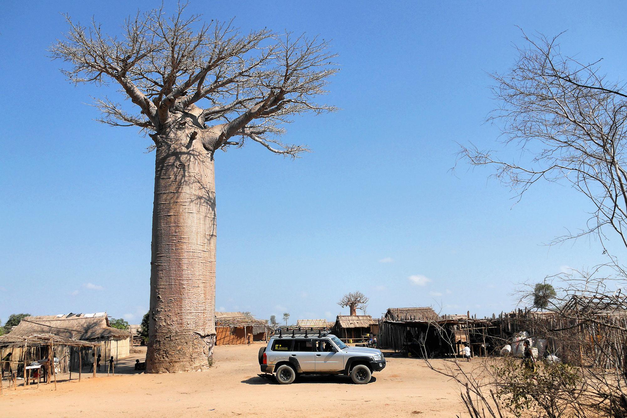 A l'ombre du grand baobab P1040012