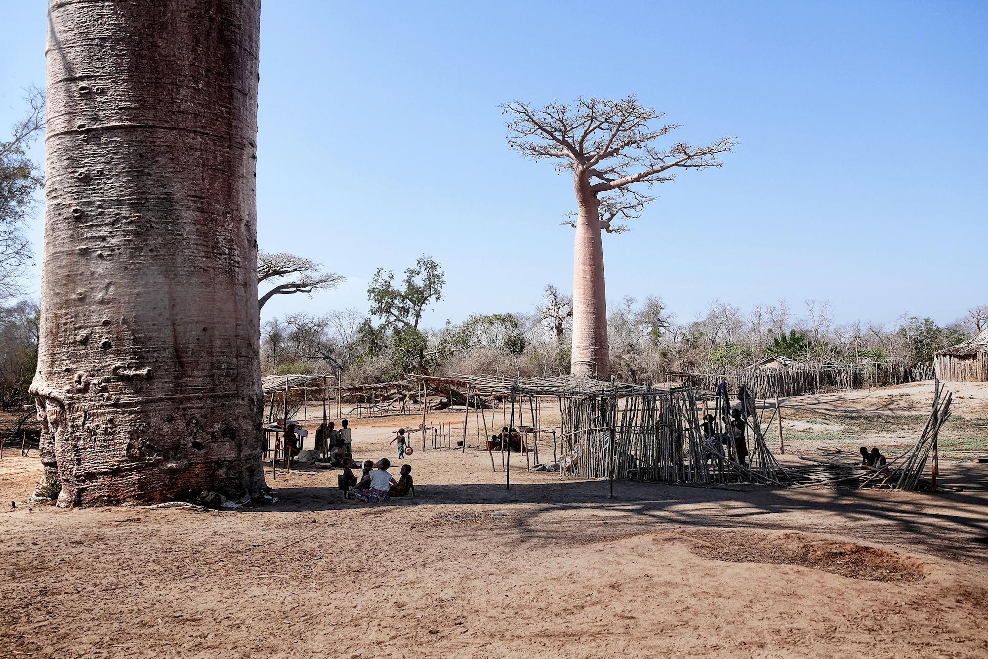 A l'ombre du grand baobab P1040013