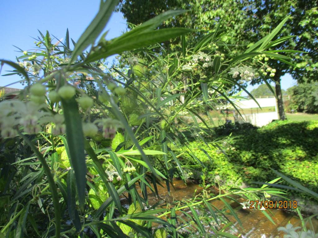 asclepia physocarpa ou gomphocarpus physocarpus - Page 2 Img_0210