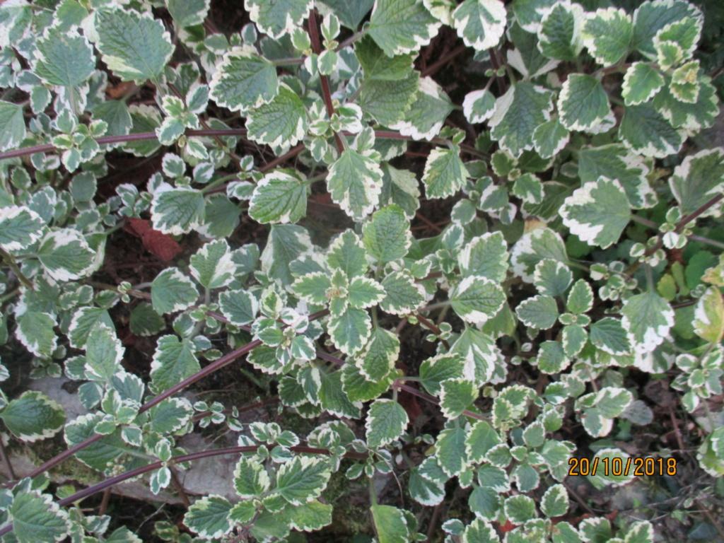 plectranthus coleoides variegata ou plectranthus glabratus  Img_0337