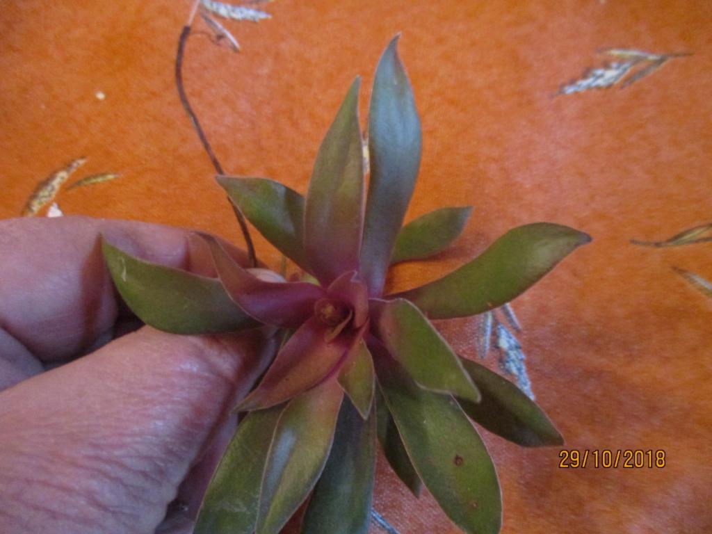 Je ne connais pas son  nom :  crassula rosularis Img_0421