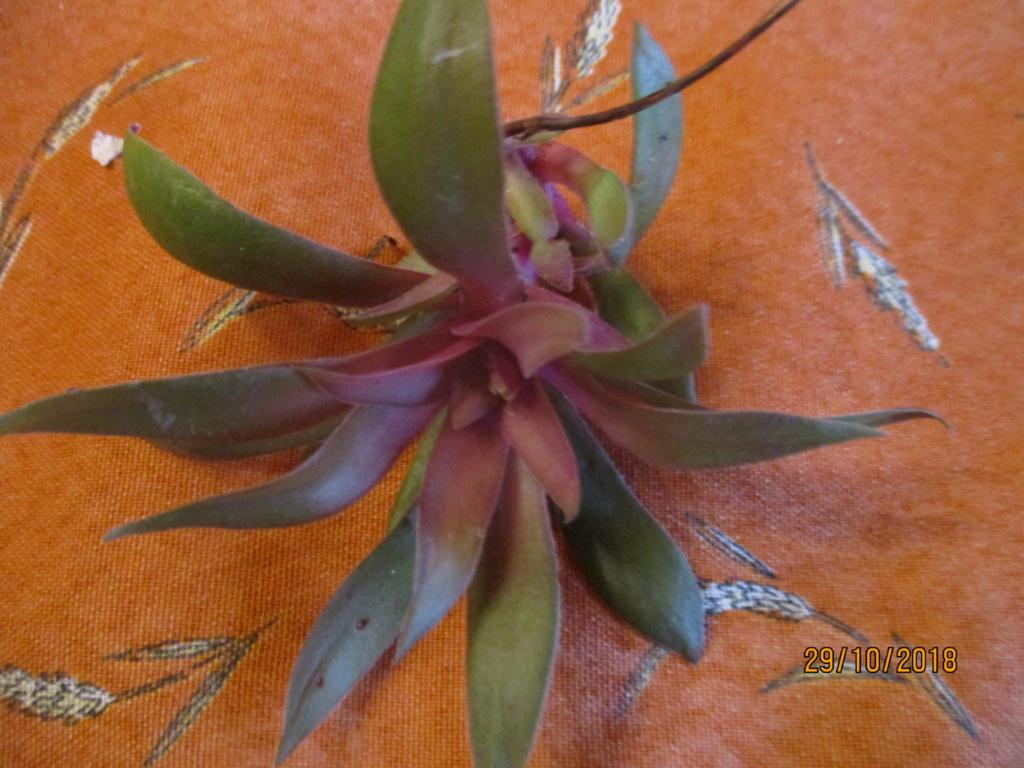 Je ne connais pas son  nom :  crassula rosularis Img_0423