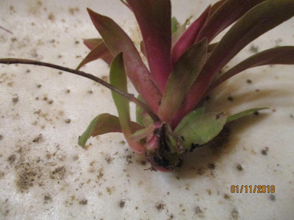Je ne connais pas son  nom :  crassula rosularis Img_0424