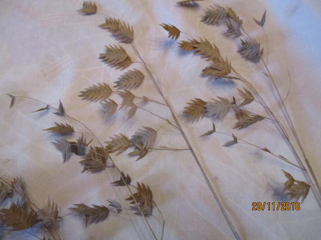 chasmanthium latifolium Img_0555