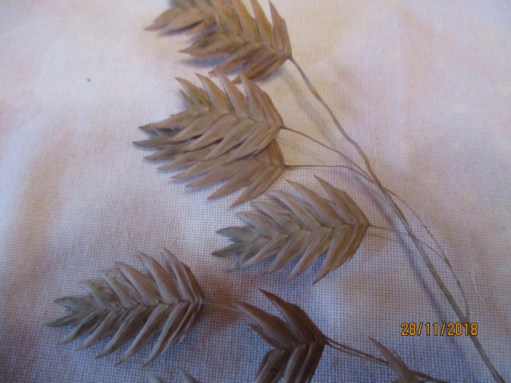 chasmanthium latifolium Img_0557