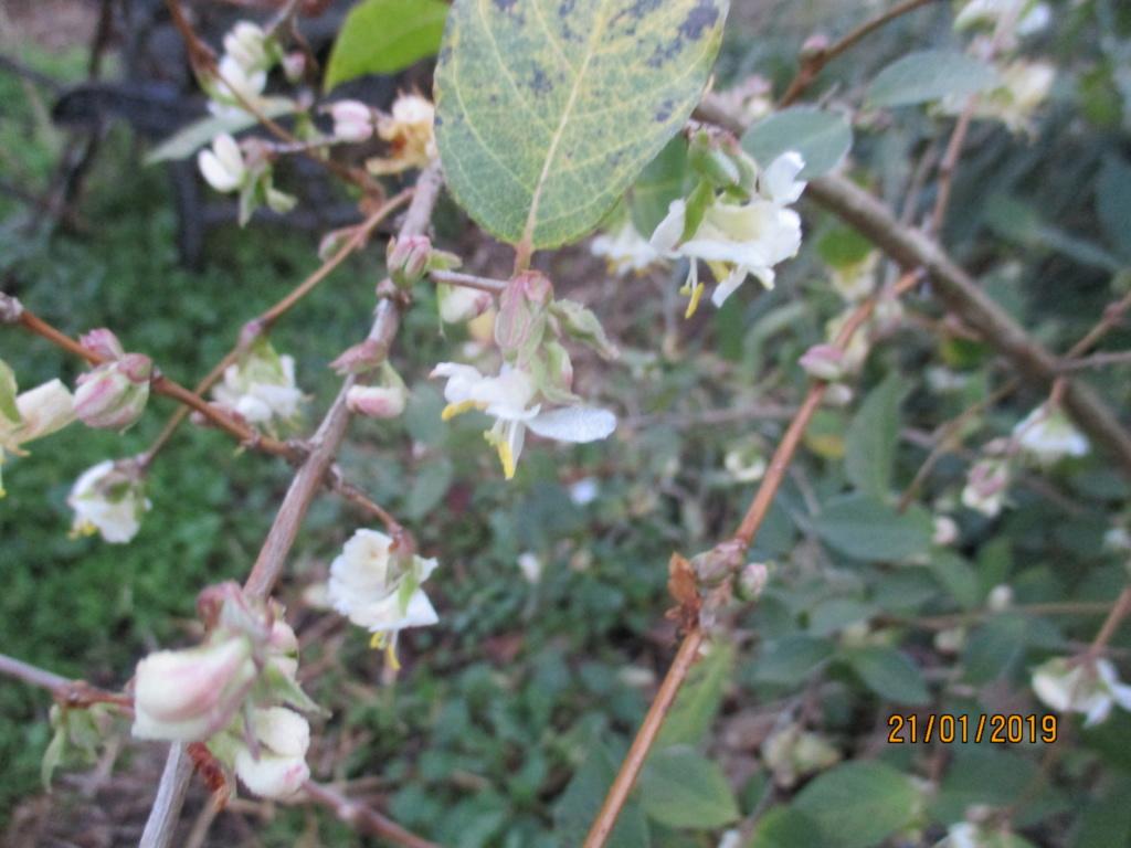 Lonicera fragrantissima,du parfum en hiver - Page 2 Img_0730