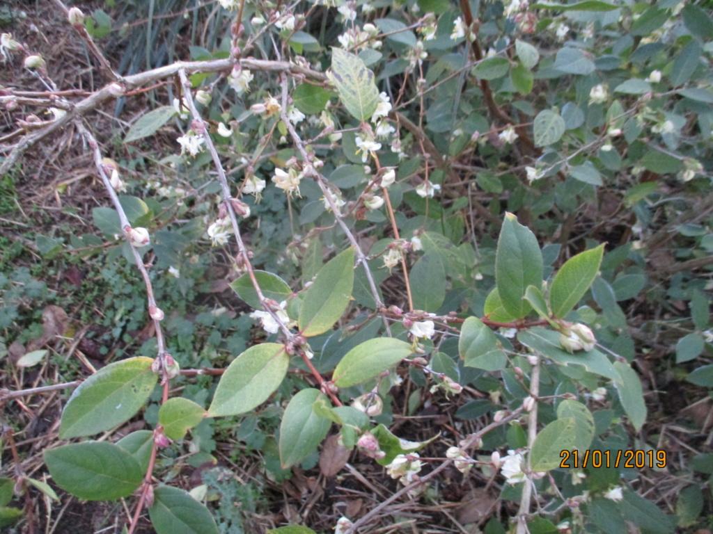 Lonicera fragrantissima,du parfum en hiver - Page 2 Img_0731