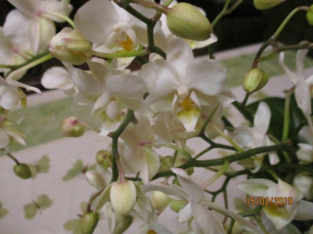 Phalaenopsis - Page 38 Img_0821