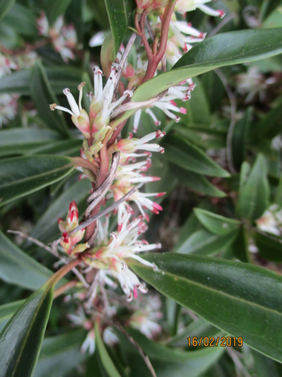 Le sarcococca - Page 4 Img_0829