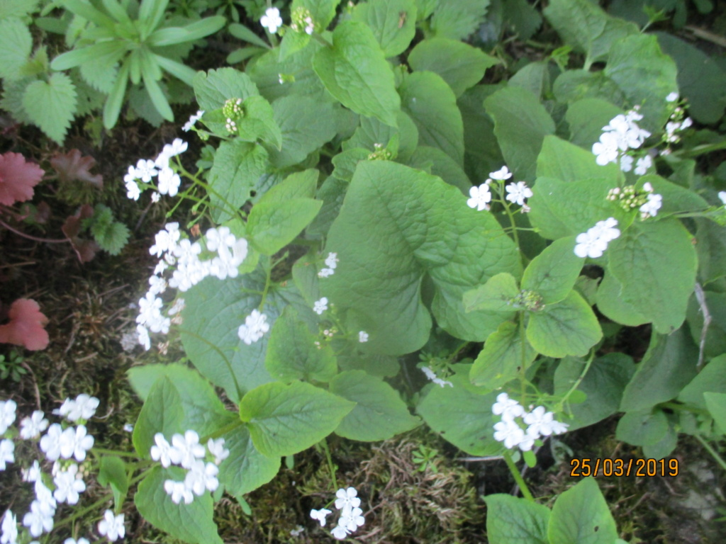 brunnera macrophylla ou myosotis du caucase - Page 4 Img_1024