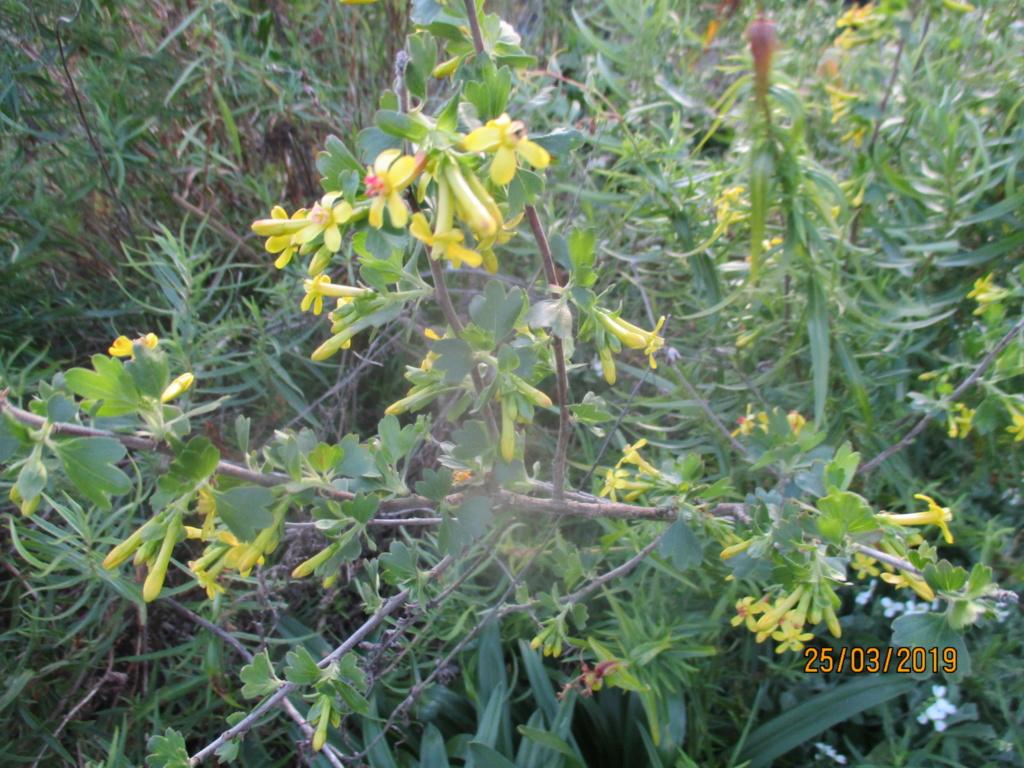 Groseillier à fleurs jaunes : Ribes odoratum - Page 2 Img_1029