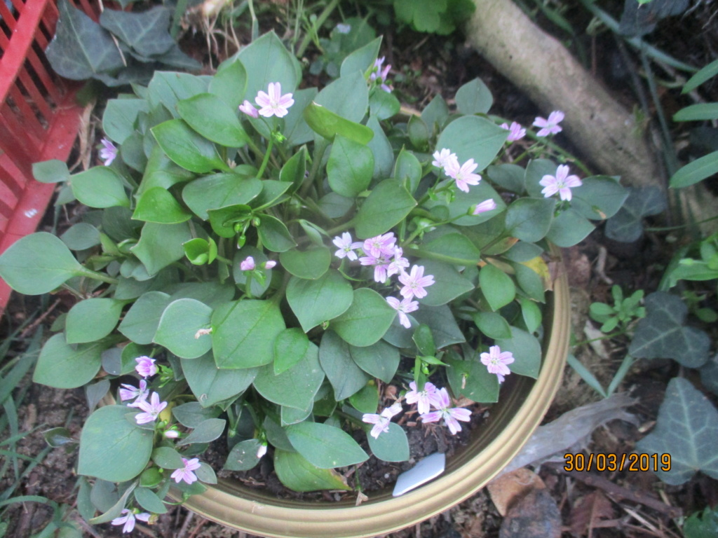 claytonia sibirica - Page 3 Img_1138