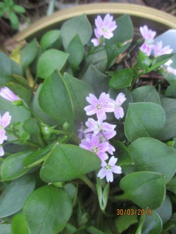 claytonia sibirica - Page 3 Img_1140