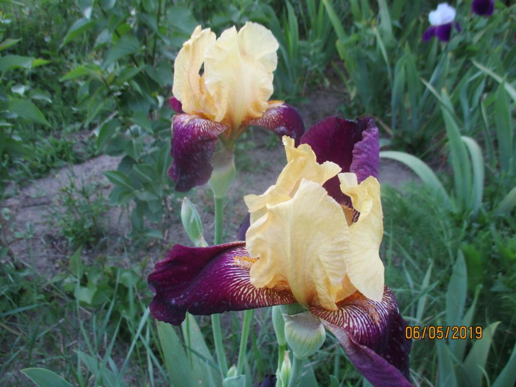 Floraison d'iris 2017 - 2018 - 2019 - Page 14 Img_1529