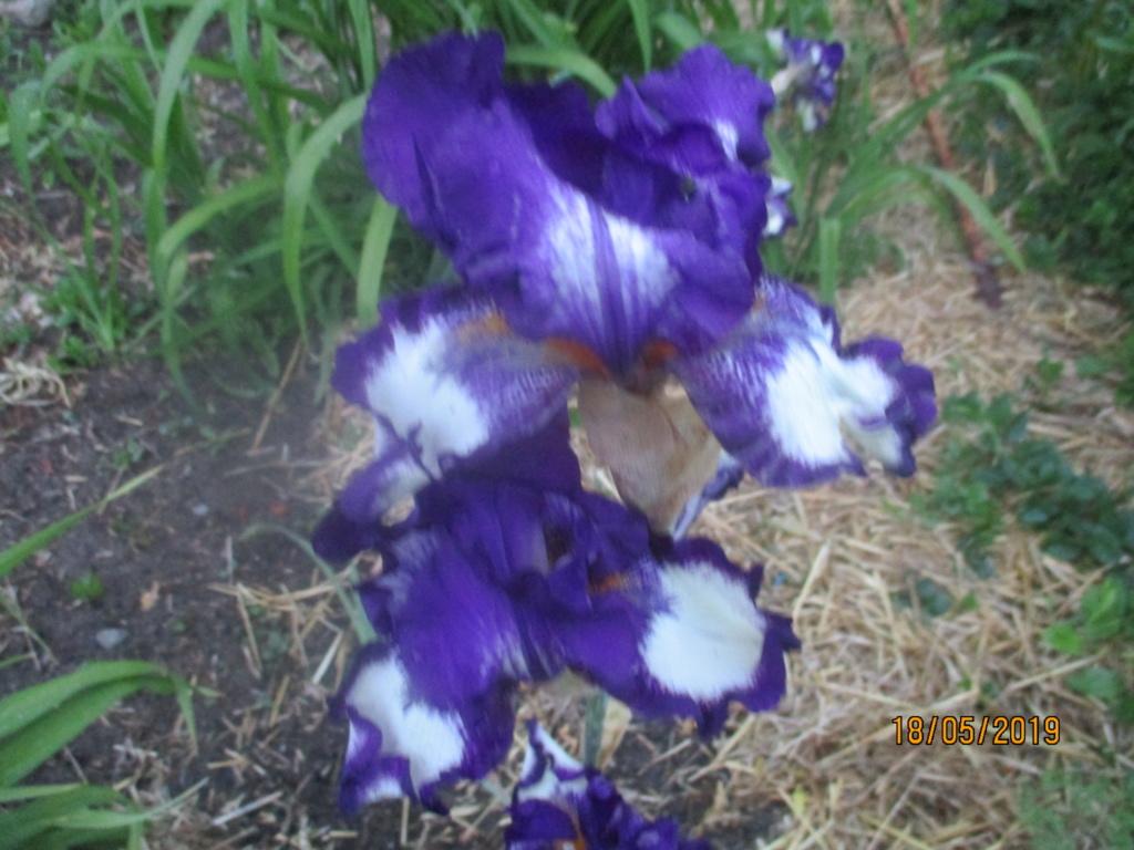 Floraison d'iris 2017 - 2018 - 2019 - Page 15 Img_1719