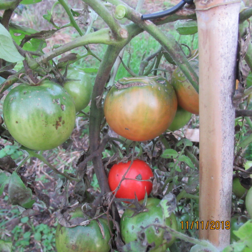 Tomates 2019 et 2020 - Page 16 Img_2716