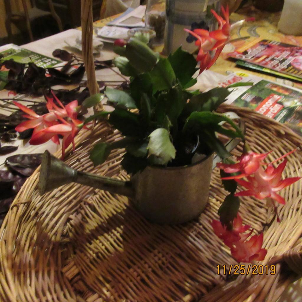 Cactus de Noël ou Schlumbergera - Page 8 Img_2852