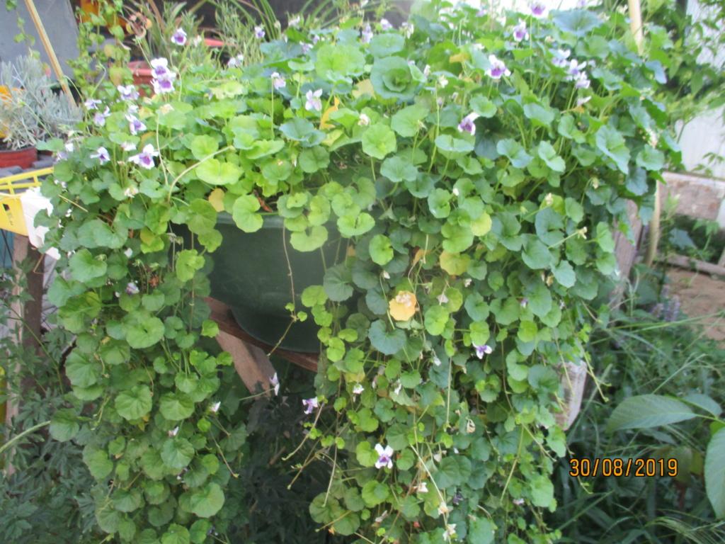 Viola  hederacea  Img_3113