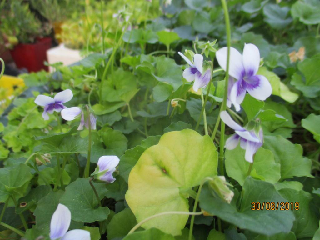 Viola  hederacea  Img_3114