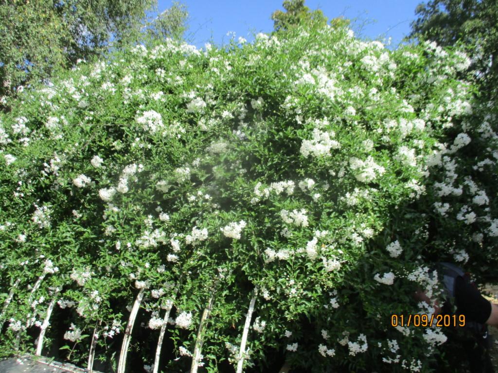 solanum jasminoides Img_3217