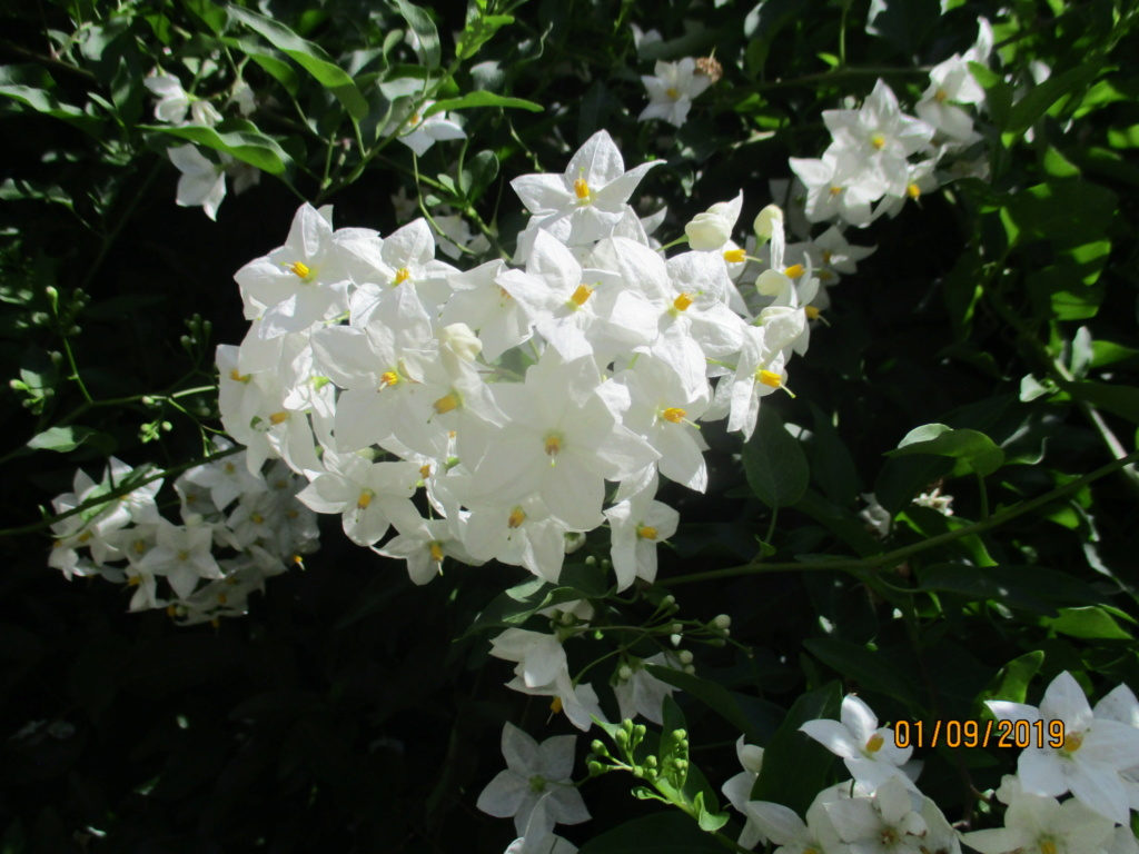 solanum jasminoides Img_3218